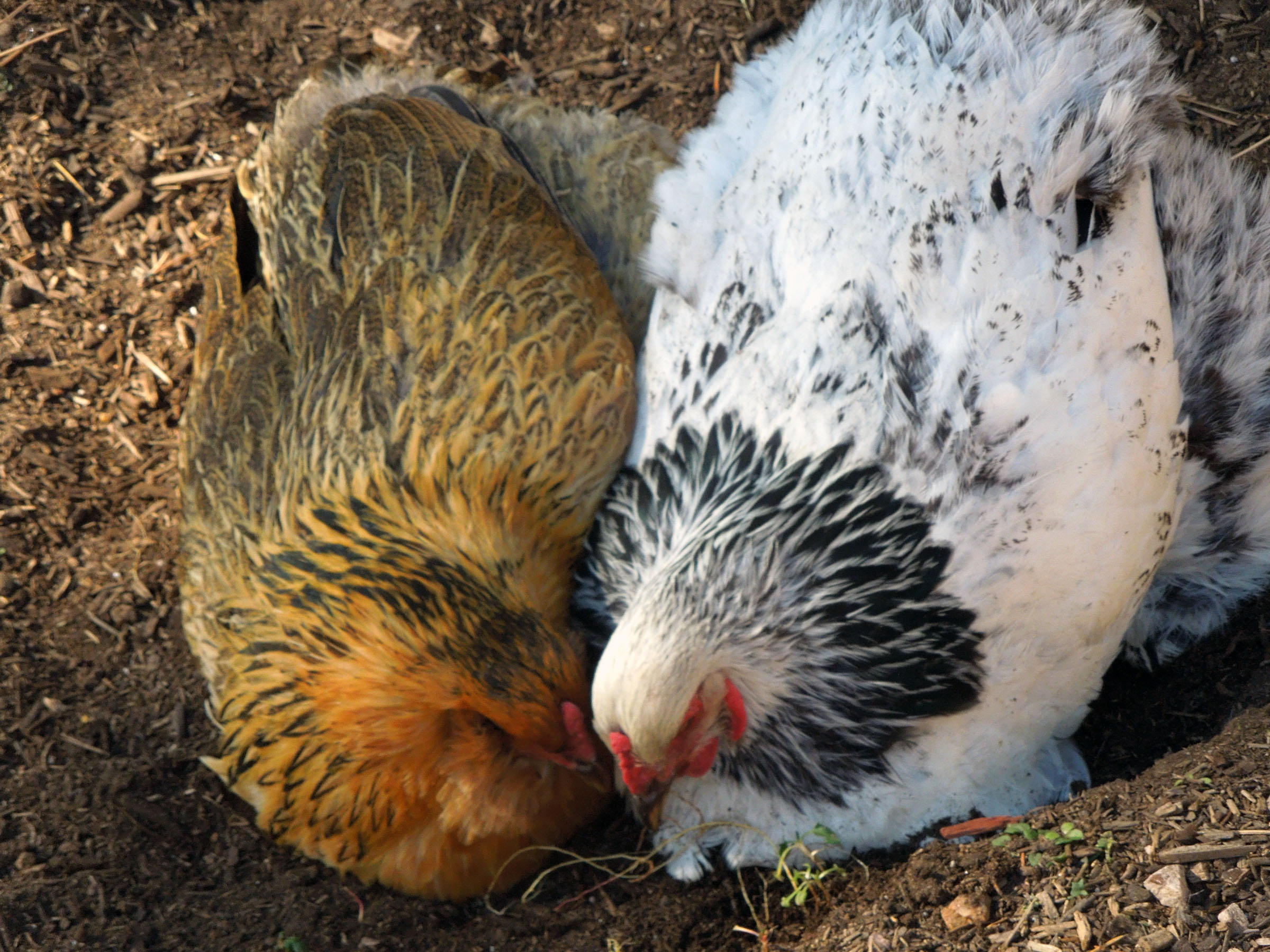Chickens are a never-ending source of amusement. Funniest critters ever.