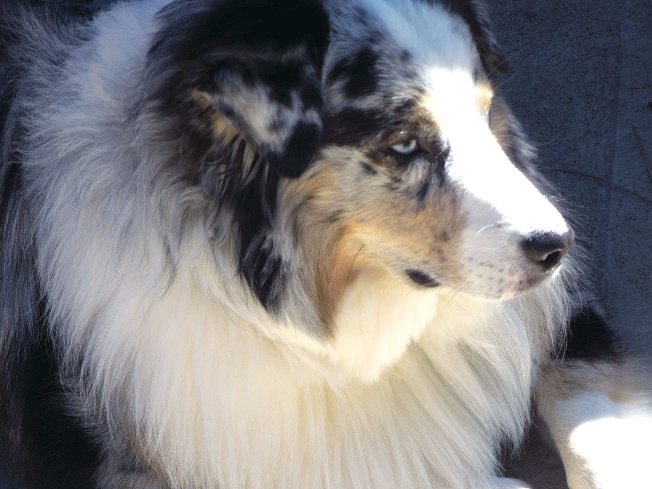 Is there any dog more beautiful than an Australian shepherd?