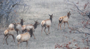 Part of the elk herd milling about tonight
