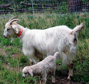 "Even this gentle cashmere goat has the ""mama bear"" instinct. Though she was afraid of our Jack Russell terrier prior to becoming a mother, she now rushes at the dog every time it is in the vicinity of her kid. She recognizes the pup as a predator, and rightly so. Her selfless mother love easily trumps her onetime fear."